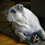 Bulldogge mit Ball